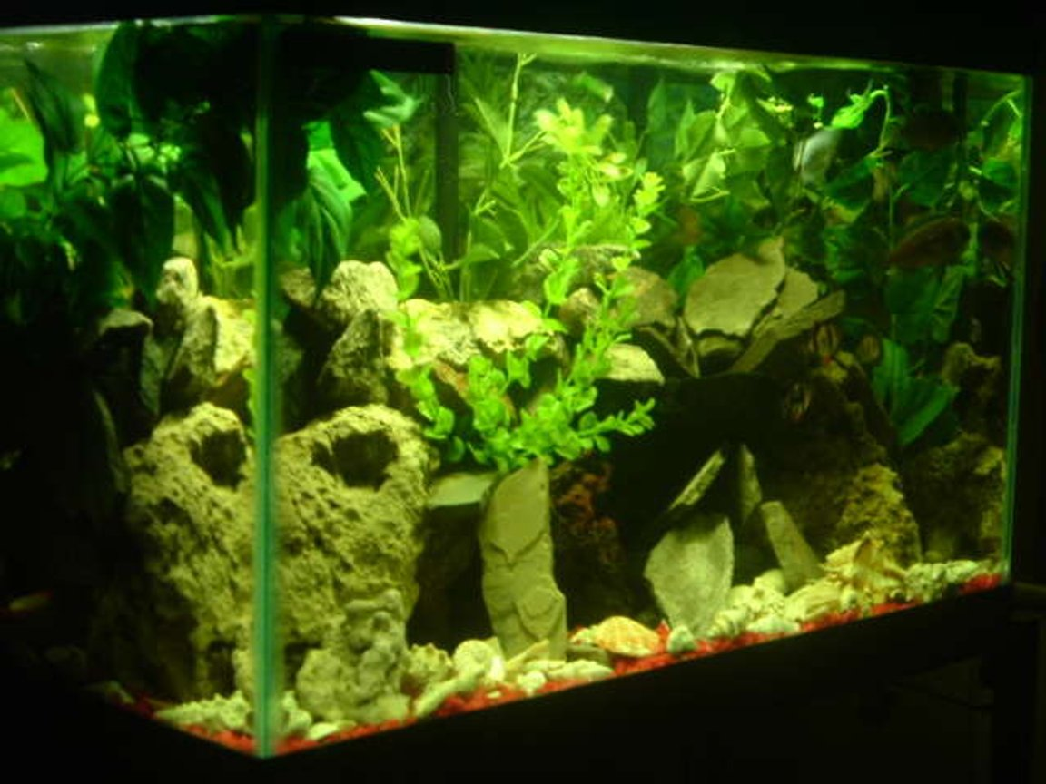 freshwater fish tank (mostly fish and non-living decorations) - My 29 gal Cichlid & Barb Tank 8-Fish at time of pic You can see the Tiger Barb Gang. Center Right in the pic.
