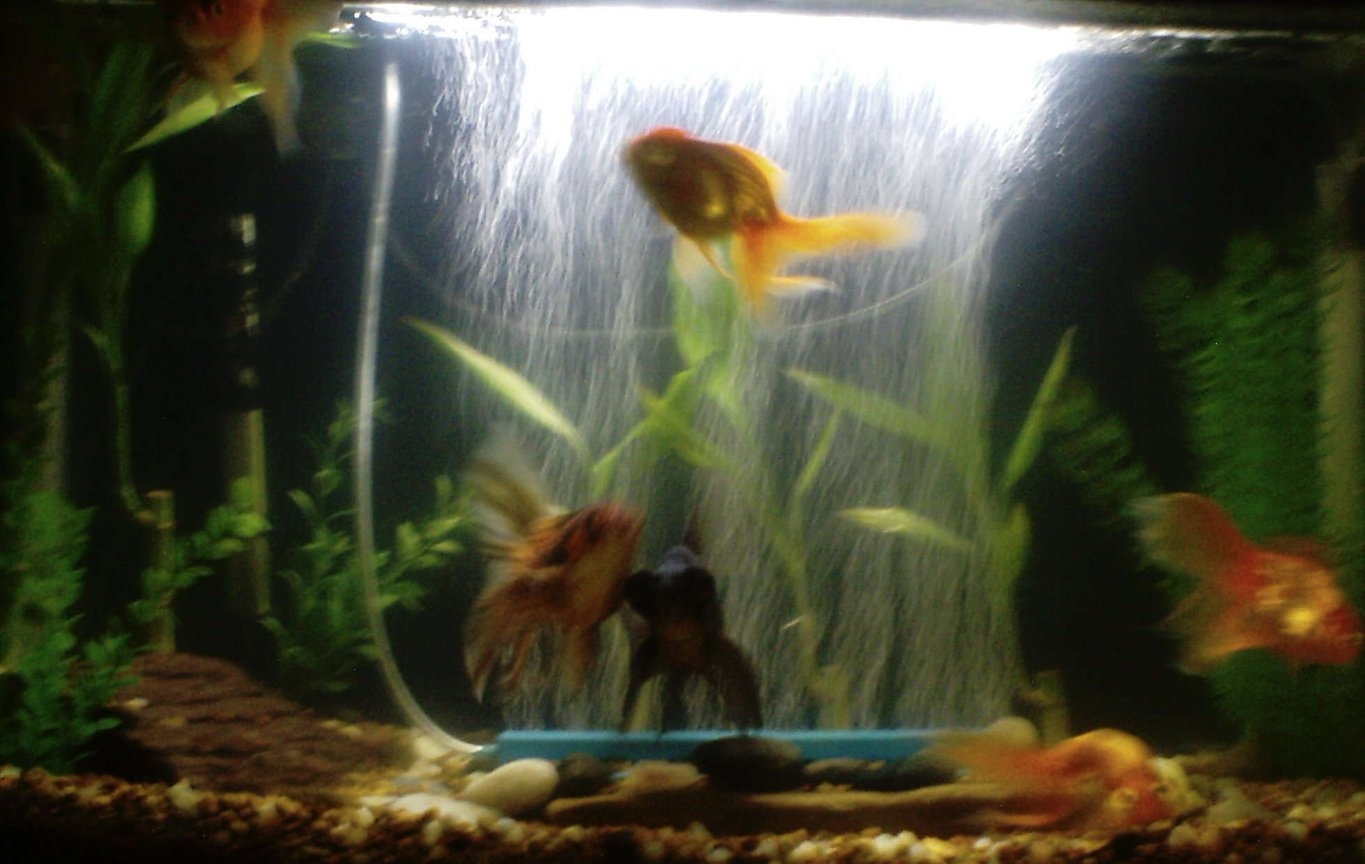 55 gallons freshwater fish tank (mostly fish and non-living decorations) - We started with these guys. seven different varieties of different goldfish.keeping it natural with river stones, interesting rocks from our yard , plastic plants, live bamboo, and natural colored mix of tiny rocks with our gravel.