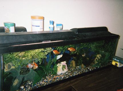 45 gallons freshwater fish tank (mostly fish and non-living decorations) - Big boi loves the cam