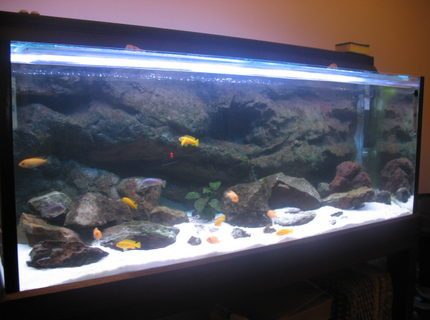 67 gallons freshwater fish tank (mostly fish and non-living decorations) - African Cichlid Tank