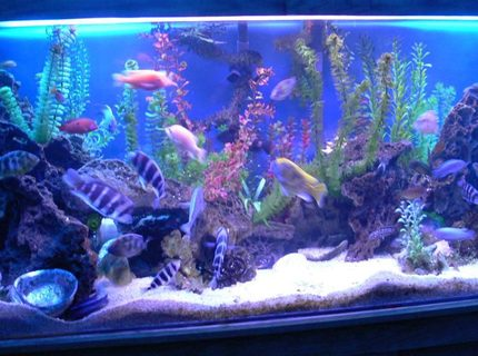 Rated #4: 300 Gallons Freshwater Fish Tank - 1200L(300Gal) tank with 90 african cichlids.