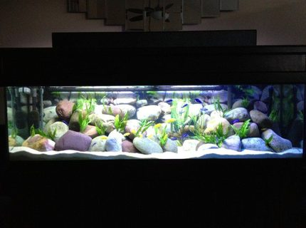 Rated #11: 125 Gallons Freshwater Fish Tank - 125 Gallon Malawi Cichlid tank. Yellow Labs, Acei, Demasoni's, and a OB Peacock.