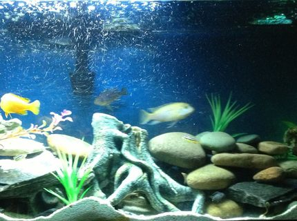 200 gallons freshwater fish tank (mostly fish and non-living decorations) - 55 gallon african cichlids