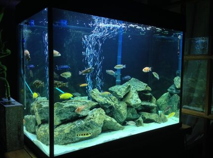 44 gallons freshwater fish tank (mostly fish and non-living decorations) - New Tank Set-up