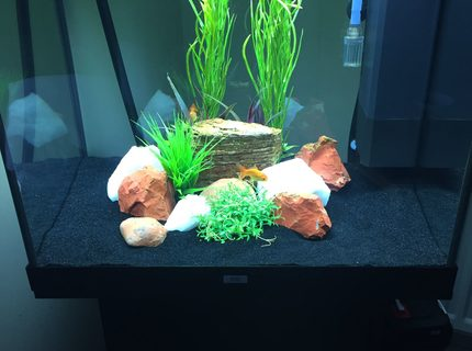 50 gallons freshwater fish tank (mostly fish and non-living decorations) - Oranda tank
