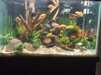 Rated #2: 150 Gallons Freshwater Fish Tank - Mixed African cichlid tank