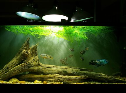 Rated #10: 55 Gallons Freshwater Fish Tank - Electric Blue M/Normal F Jack Dempsey pair, two convict F, one Honduran Red Point/Convict hybrid M, two Port Acara F, eight Red Minor tetras, eight Black Skirt tetras, one Blue Florida freshwater cray.