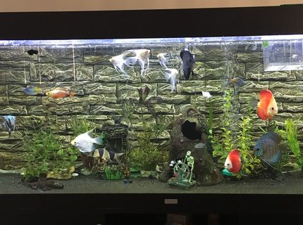 180 gallons freshwater fish tank (mostly fish and non-living decorations) - Juwel Rio 400