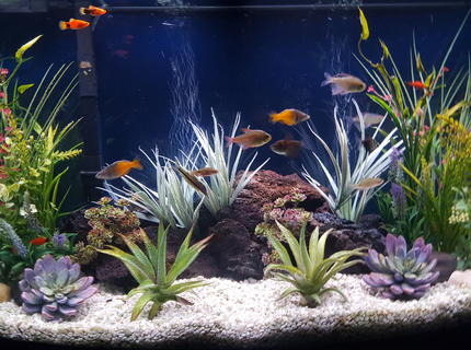 46 gallons freshwater fish tank (mostly fish and non-living decorations) - My freshwater community aquarium