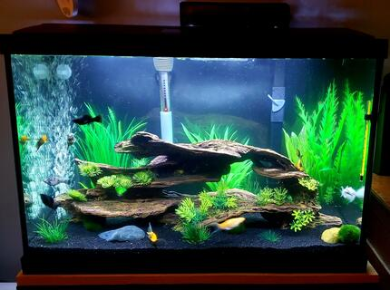 20 gallons freshwater fish tank (mostly fish and non-living decorations) - Mollie 20g tank