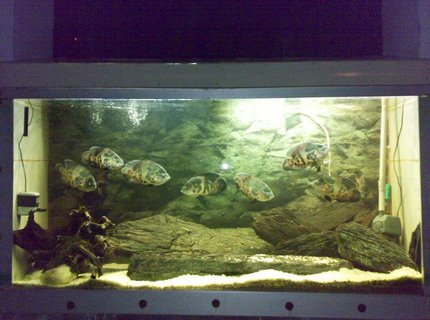 260 gallons freshwater fish tank (mostly fish and non-living decorations) - Oscar Tank.... 10 Tiger Oscar