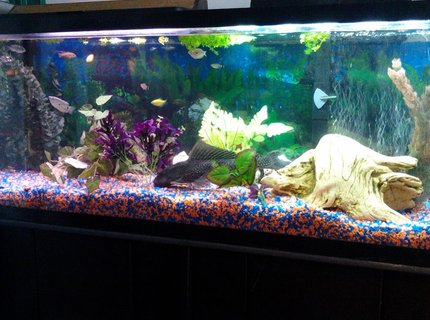 50 gallons freshwater fish tank (mostly fish and non-living decorations) - Check out Plecy and my Mbunas