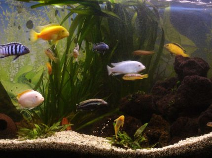 260 gallons freshwater fish tank (mostly fish and non-living decorations) - old cichlid tank 300l juwel