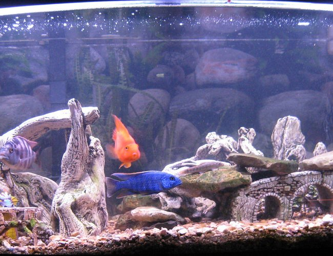 70 gallons freshwater fish tank (mostly fish and non-living decorations) - Cichlids: