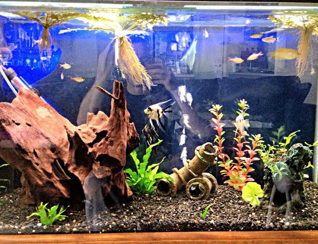 45 gallons freshwater fish tank (mostly fish and non-living decorations) - 3 foot community tank with angels,