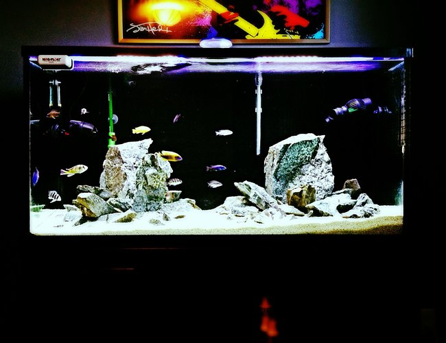 9 gallons freshwater fish tank (mostly fish and non-living decorations) - Got bitten by the Cichlid bug again. Decided to kick it old school and start another African Cichlid tank again. For old times sake.