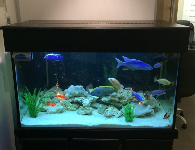 106 gallons freshwater fish tank (mostly fish and non-living decorations) - 100 + gallon tank, assorted white rock, marble chips, fluval canister filter and plastic plants :) assorted fish include venustus, Champsochromis caeruleus, common plecostomus, gold spotted plecostomus, featherfin catfish, clown loaches and cuckoo catfish