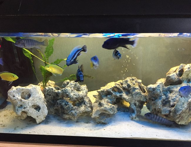 26 gallons freshwater fish tank (mostly fish and non-living decorations) - Cichlid tank with white volcanic rock and white sand.