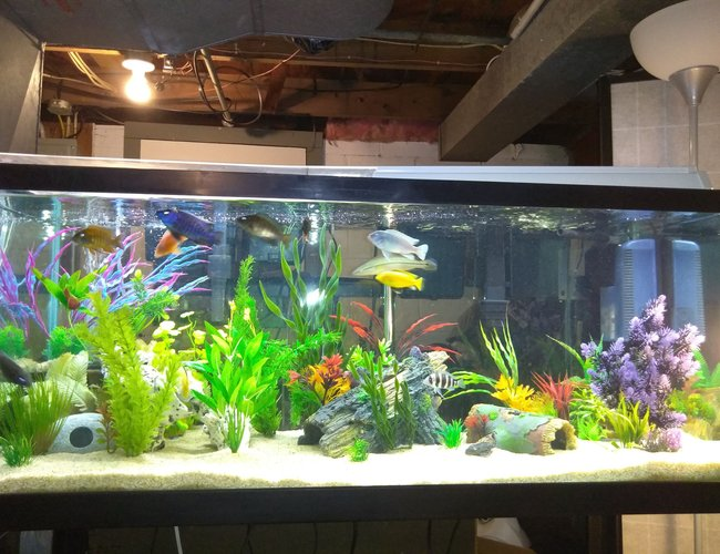 75 gallons freshwater fish tank (mostly fish and non-living decorations) - My 75g Cichlid Tank, Any suggestions?