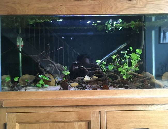 44 gallons freshwater fish tank (mostly fish and non-living decorations) - 200l Rio Guapore themed Biotope4 Bolivian rams (3fm 1 m)8marble hatchetfishLeaf litter and alder cones