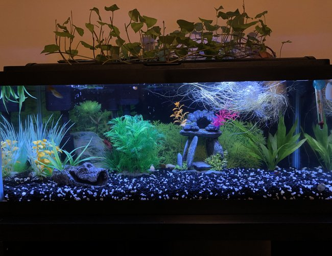 20 gallons freshwater fish tank (mostly fish and non-living decorations) - Sweet potato!!