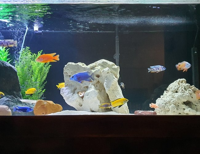 75 gallons freshwater fish tank (mostly fish and non-living decorations) - 580 lt African Cichlid Tank5x2x2