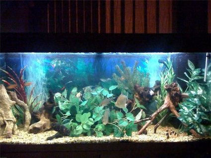 Rated #54: 48 Gallons Freshwater Fish Tank - My fish tank. My plec and pictus have moved the plants around to create a hiding space.