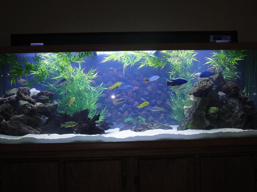 Rated #1: 110 Gallons Freshwater Fish Tank - Mixed Malawi w/new background in progress
