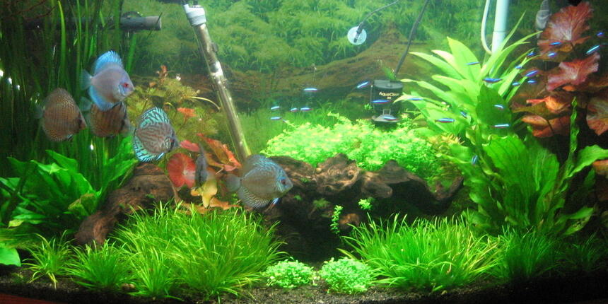 Rated #87: 72 Gallons Freshwater Fish Tank - Discus & Cardinals