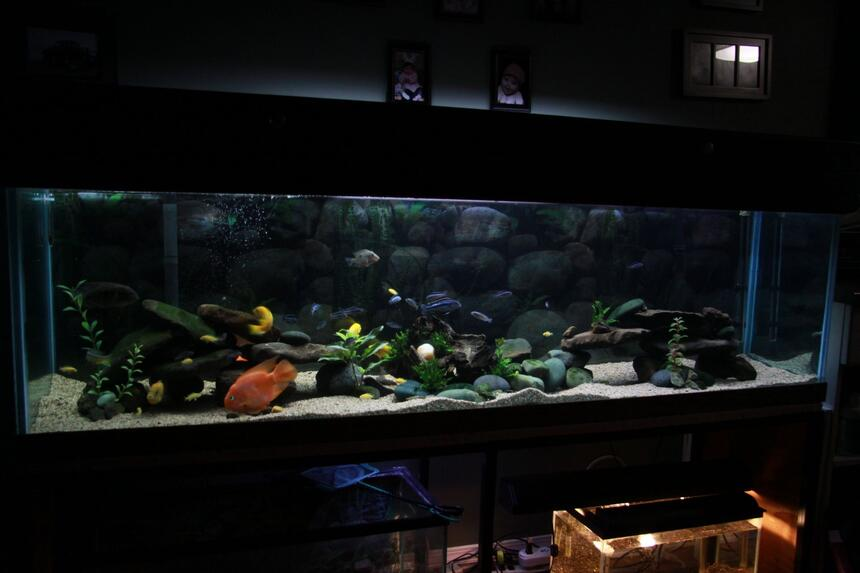 Rated #82: 110 Gallons Freshwater Fish Tank - 110 Gallon, Assorted Malawi Cichlids.