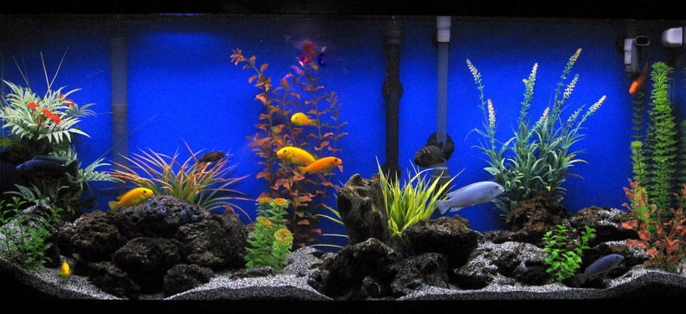 Rated #6: 55 Gallons Freshwater Fish Tank - Assorted Cichlids