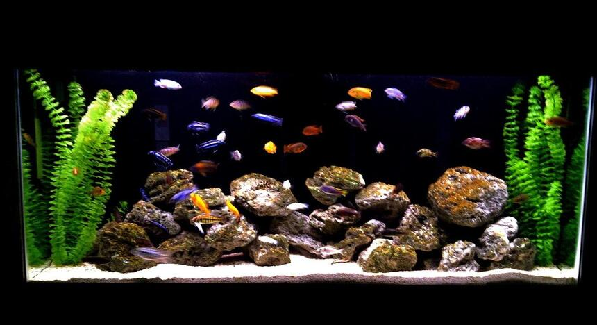 Rated #57: 55 Gallons Freshwater Fish Tank - african cichlid family