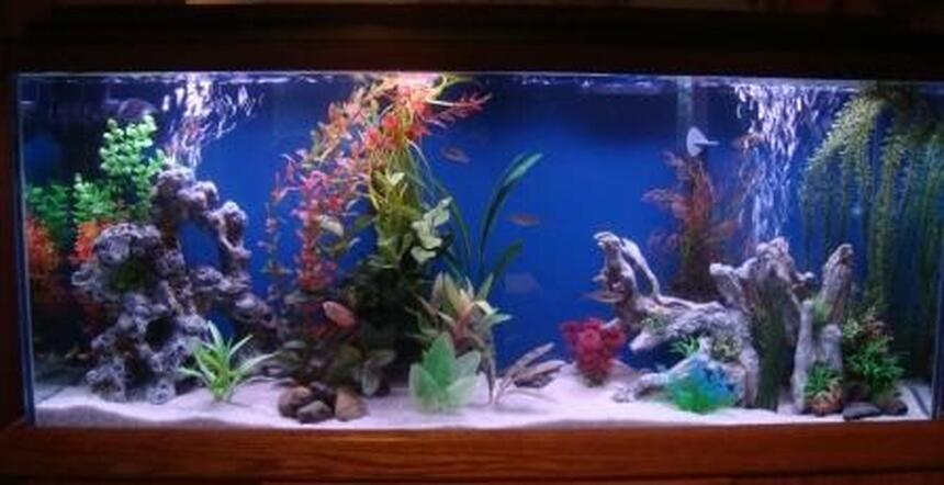 Rated #65: 55 Gallons Freshwater Fish Tank - About three weeks into the free 55 gal tank we got from a neighbor.
