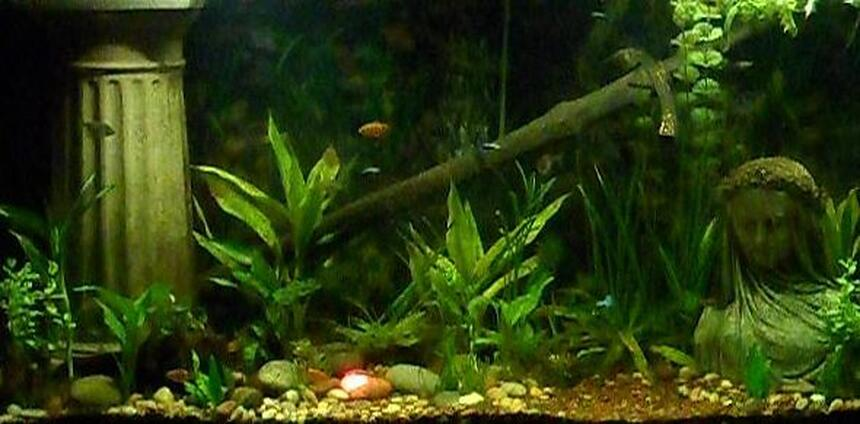 Rated #21: Freshwater Fish Tank - This is my Lord of the Rings aquarium, 90 gallons, home to guppies, tetras, rosy barbs, a tiger pleco, kuhli loaches, and freshwater clams.  Yes, that is the One Ring on the bottom, highlighted with a red light.