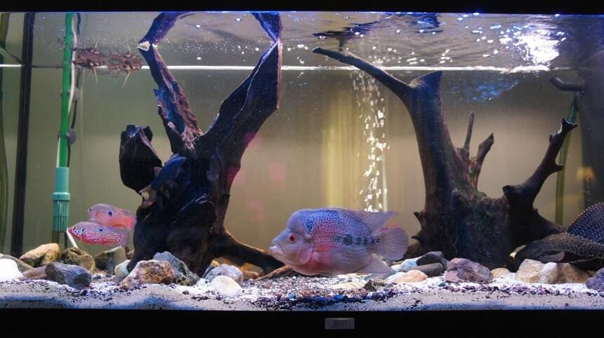 Rated #64: 60 Gallons Freshwater Fish Tank - Our tank, with fish... there is our flowerhorn, a catfish, some butterfly fish, and some chiclid rams :) and a pleco!