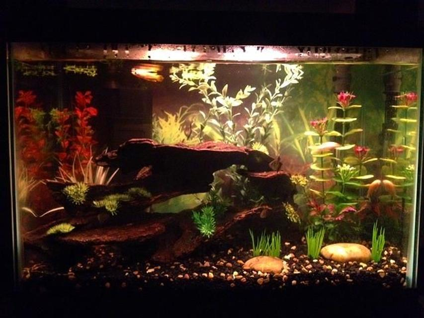 Rated #66: 20 Gallons Freshwater Fish Tank - My tank with Golden Wonder lurking
