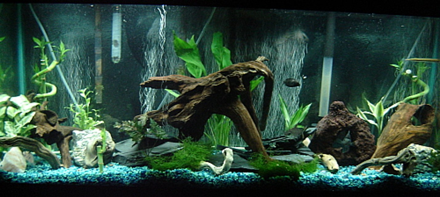 Rated #32: 55 Gallons Freshwater Fish Tank - South American Cichlid Tank. Natural driftwood, slate, lava rock, live plants.