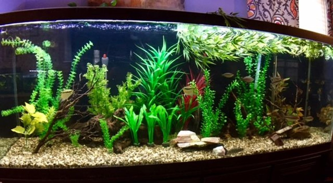 Rated #41: 150 Gallons Freshwater Fish Tank - my 150 Gallon. Tons of barbs, rainbow fish and cory's.