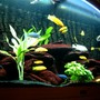"64 gallons freshwater fish tank (mostly fish and non-living decorations) - Malawi Moon Juwel Vision 260L 2 Labidochromis sp. ""Hongi"" 2 Syno Multipunctatus 3 Ps. Ice White 4 Ps. Acei ""Yellow Tail"" 3 Ps Crabro 4 maylandia callainos 1 Lab Trewavasae 1 Metriaclima Greshakei 3 Metriaclima Estherae 8 Labidochromis Caeruleus Filtration:Juwel Internal and Fluvol304"