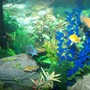 55 gallons freshwater fish tank (mostly fish and non-living decorations) - african cichlids, upclose