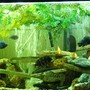 110 gallons freshwater fish tank (mostly fish and non-living decorations) - Cichlid Tank 2