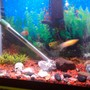 70 gallons freshwater fish tank (mostly fish and non-living decorations) - Left