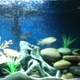 55 gallons freshwater fish tank (mostly fish and non-living decorations) - 55 gallon african cichlids