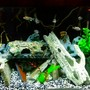 55 gallons freshwater fish tank (mostly fish and non-living decorations) - My Malawi tank
