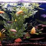 55 gallons freshwater fish tank (mostly fish and non-living decorations) - African Cichlids, 55 gal, lake rock and if you look close enough there are babies