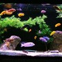 135 gallons freshwater fish tank (mostly fish and non-living decorations) - 135g African - Mostly Mbuna
