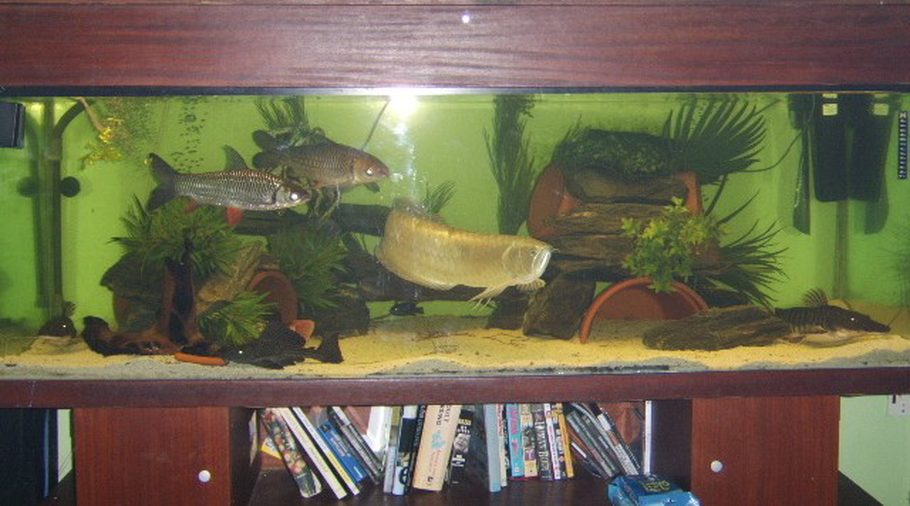 Pimpin aint easy 39 s freshwater tanks photo id 2273 full for Arowana tank decoration