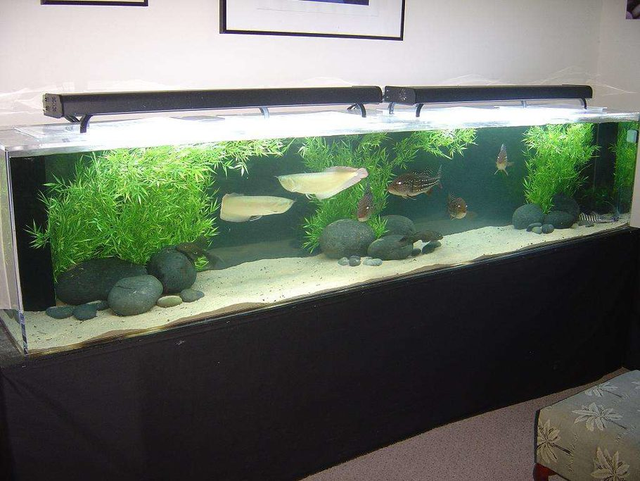 Fishman76092 39 s freshwater tanks photo id 5585 full for Arowana fish tank decoration