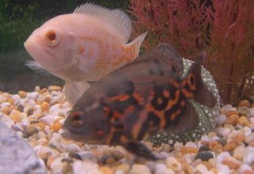 Cichlids - Understanding the Different Types