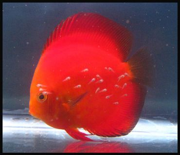 Tips for Breeding Discus Fish